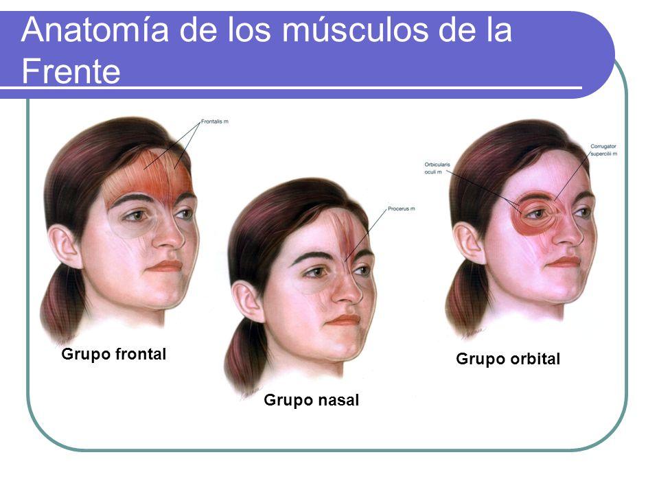 Anatomía de los músculos de la Frente Grupo frontal Grupo nasal Grupo orbital