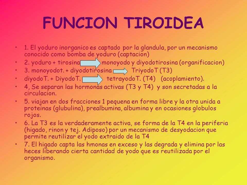 FUNCION TIROIDEA 1. El yoduro inorganico es captado por la glandula, por un mecanismo conocido como bomba de yoduro (captacion) 2. yoduro + tirosina m