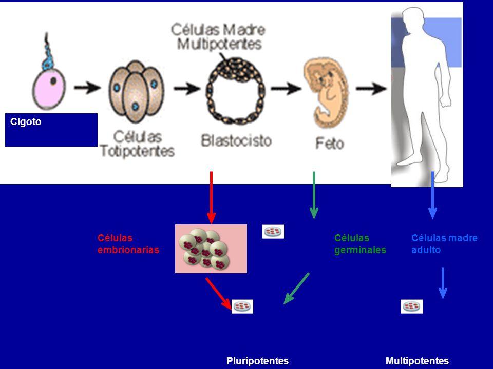 Cigoto Adulto Células germinales Células embrionarias Pluripotentes Células madre adulto Multipotentes