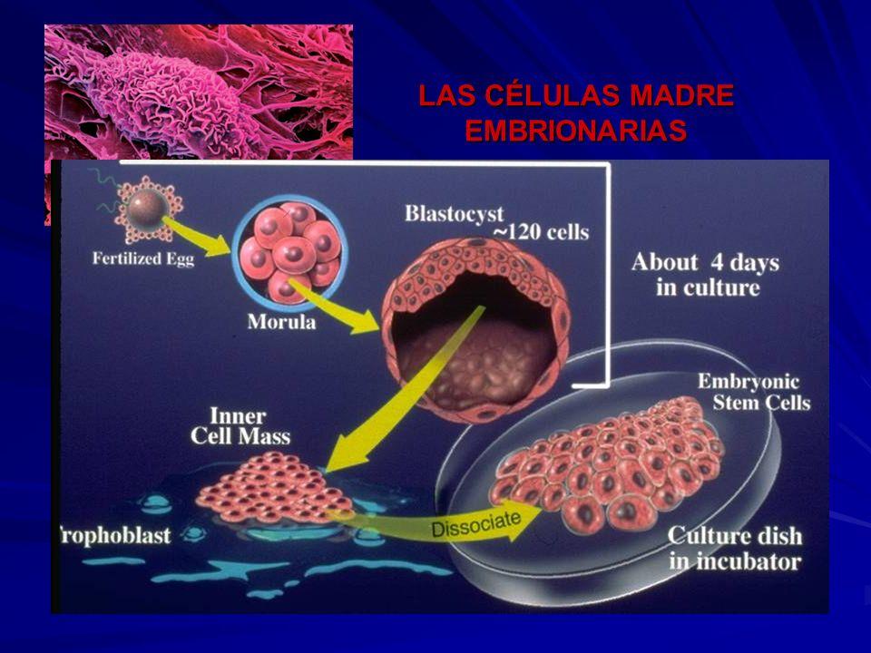 LAS CÉLULAS MADRE EMBRIONARIAS Derivan del embrión de los mamíferos en su etapa de blastocisto Poseen la capacidad de generar cualquier célula diferen