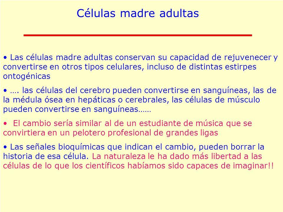 Células madre adultas Las células madre adultas conservan su capacidad de rejuvenecer y convertirse en otros tipos celulares, incluso de distintas est