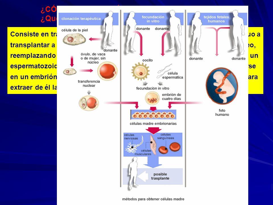 ¿CÓMO OBTENER CÉLULAS MADRE? ¿Qué es la clonación terapéutica? Consiste en transferir el núcleo de una célula adulta somática del individuo a transpla