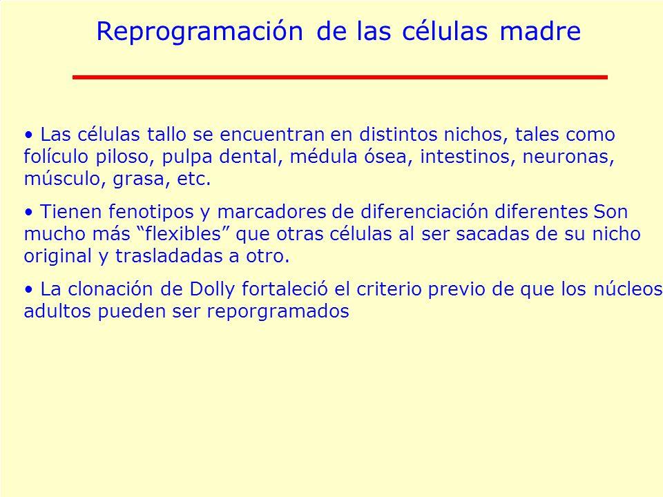 Reprogramación de las células madre Las células tallo se encuentran en distintos nichos, tales como folículo piloso, pulpa dental, médula ósea, intest