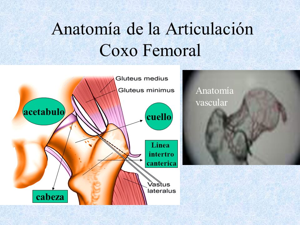 Anatomía de la Articulación Coxo Femoral cuello acetabulo cabeza Linea intertro canterica Anatomía vascular