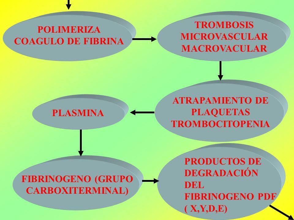 POLIMERIZA COAGULO DE FIBRINA TROMBOSIS MICROVASCULAR MACROVACULAR ATRAPAMIENTO DE PLAQUETAS TROMBOCITOPENIA PLASMINA FIBRINOGENO (GRUPO CARBOXITERMIN