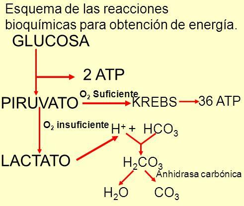GLUCOSA 2 ATP PIRUVATO O 2 Suficiente KREBS 36 ATP O 2 insuficiente LACTATO Esquema de las reacciones bioquímicas para obtención de energía. H + + HCO