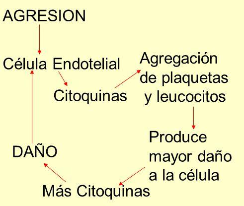AGRESION Célula Endotelial Citoquinas Agregación de plaquetas y leucocitos Produce mayor daño a la célula Más Citoquinas DAÑO