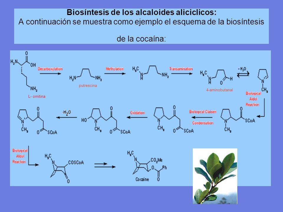 Biosíntesis de los alcaloides aliciclicos: A continuación se muestra como ejemplo el esquema de la biosíntesis de la cocaína: L- ornitina putrescina 4