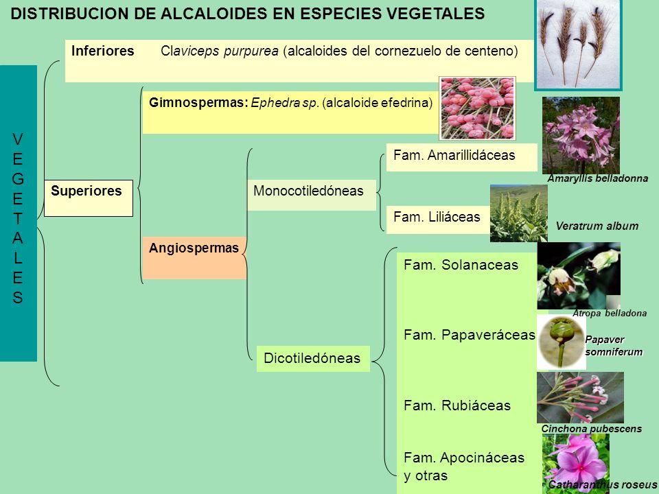 Monocotiledóneas Angiospermas Dicotiledóneas VEGETALESVEGETALES Inferiores Claviceps purpurea (alcaloides del cornezuelo de centeno) Gimnospermas: Eph