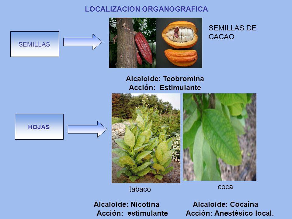 LOCALIZACION ORGANOGRAFICA SEMILLAS HOJAS SEMILLAS DE CACAO tabaco coca Alcaloide: Teobromina Acción: Estimulante Alcaloide: Nicotina Acción: estimula