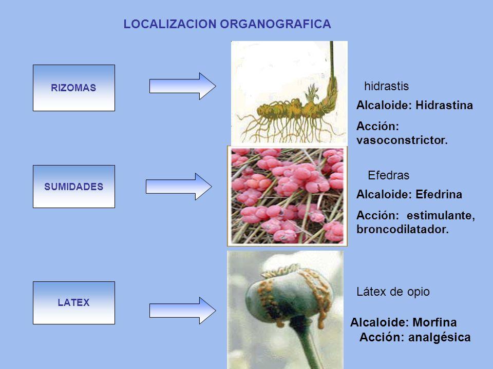 LATEX SUMIDADES RIZOMAS LOCALIZACION ORGANOGRAFICA Látex de opio Efedras hidrastis Alcaloide: Efedrina Acción: estimulante, broncodilatador. Alcaloide