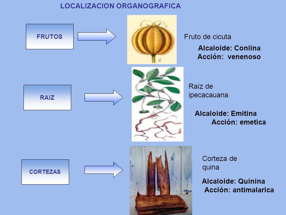 CORTEZAS LOCALIZACION ORGANOGRAFICA RAIZ FRUTOS Corteza de quina Raíz de ipecacauana Fruto de cicuta Alcaloide: Coniina Acción: venenoso Alcaloide: Qu