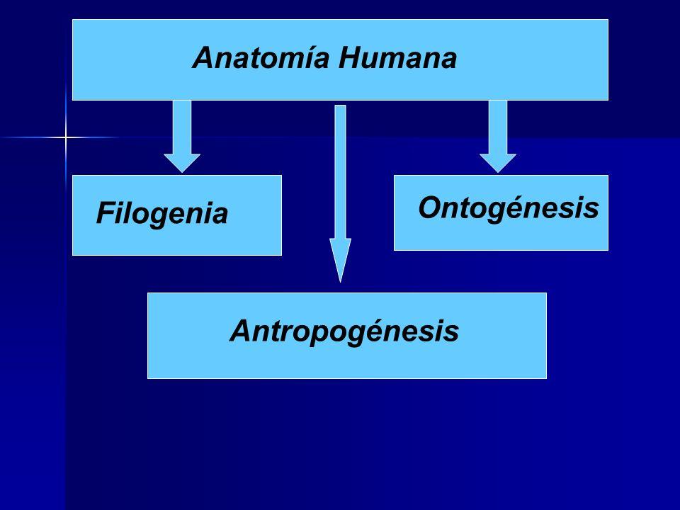 Anatomía Humana Filogenia Antropogénesis Ontogénesis