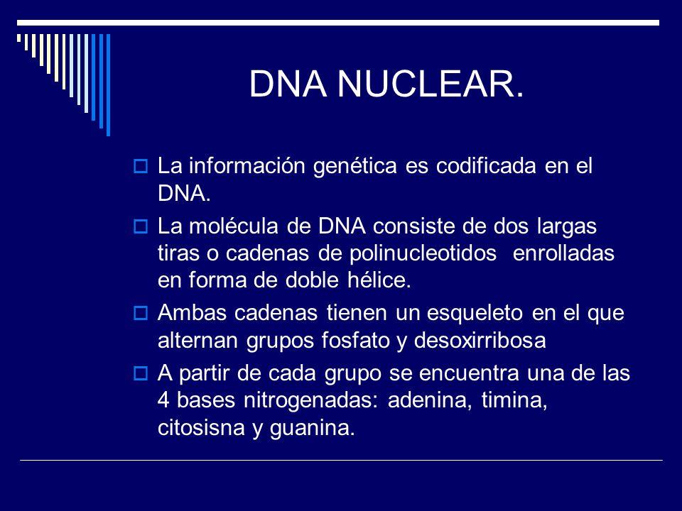 DNA NUCLEAR. La información genética es codificada en el DNA. La molécula de DNA consiste de dos largas tiras o cadenas de polinucleotidos enrolladas