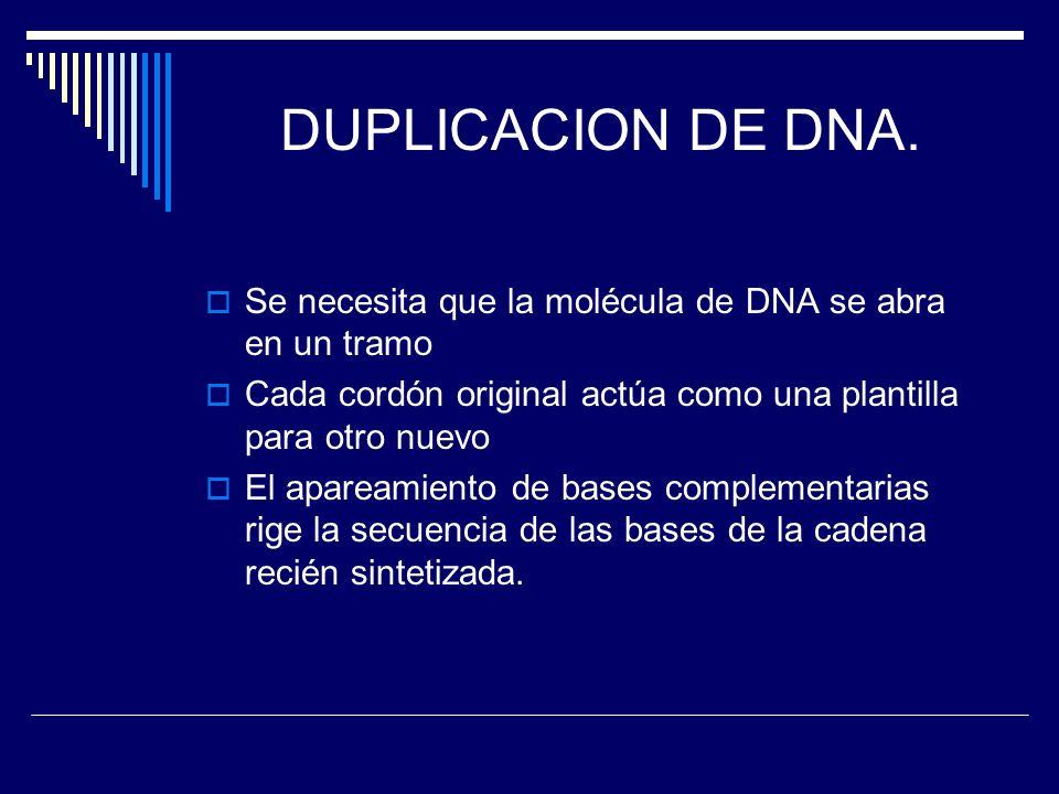 DUPLICACION DE DNA. Se necesita que la molécula de DNA se abra en un tramo Cada cordón original actúa como una plantilla para otro nuevo El apareamien