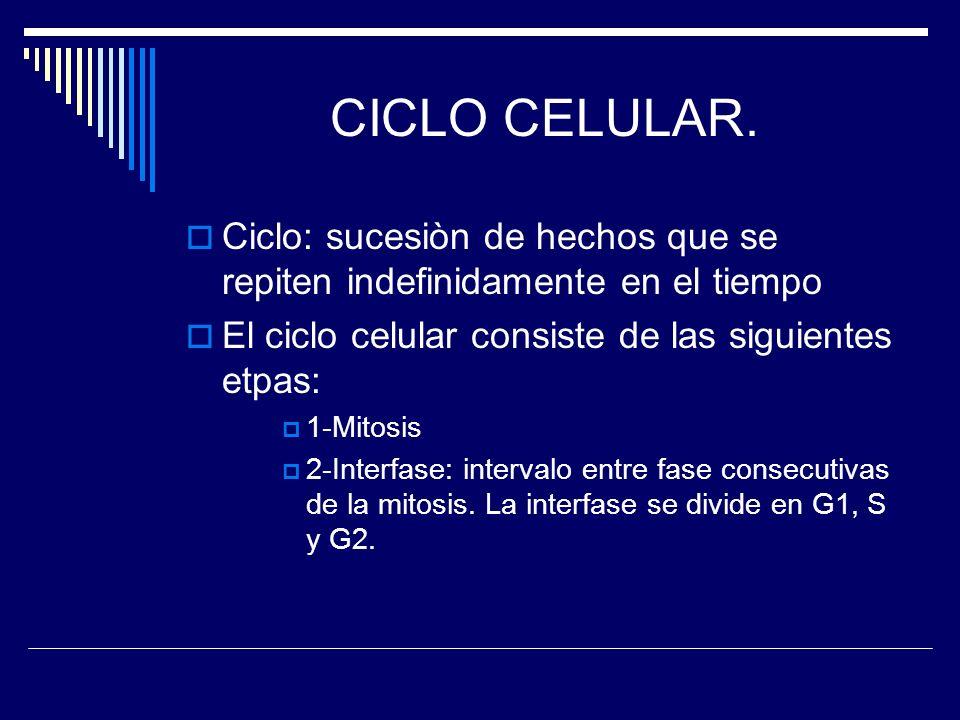 CICLO CELULAR. Ciclo: sucesiòn de hechos que se repiten indefinidamente en el tiempo El ciclo celular consiste de las siguientes etpas: 1-Mitosis 2-In