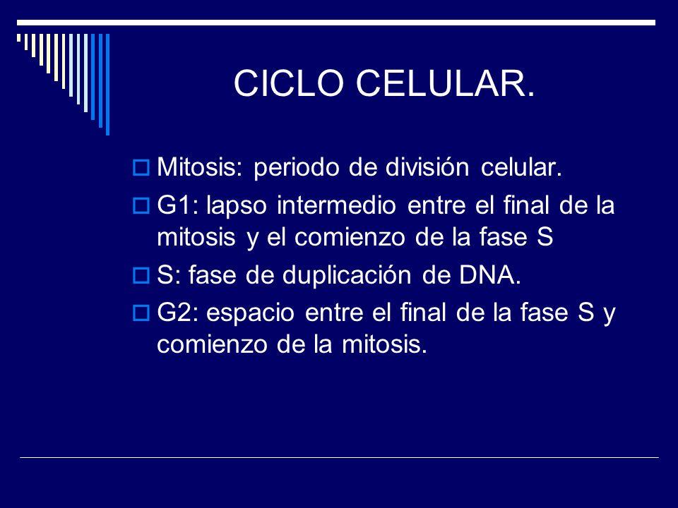CICLO CELULAR. Mitosis: periodo de división celular. G1: lapso intermedio entre el final de la mitosis y el comienzo de la fase S S: fase de duplicaci