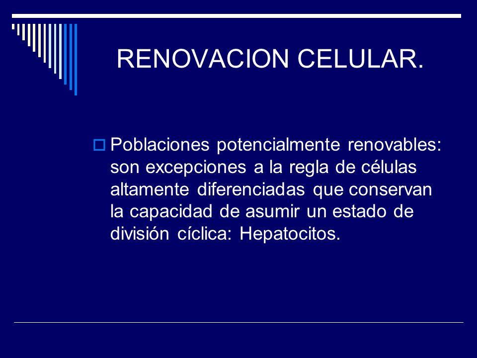 RENOVACION CELULAR. Poblaciones potencialmente renovables: son excepciones a la regla de células altamente diferenciadas que conservan la capacidad de