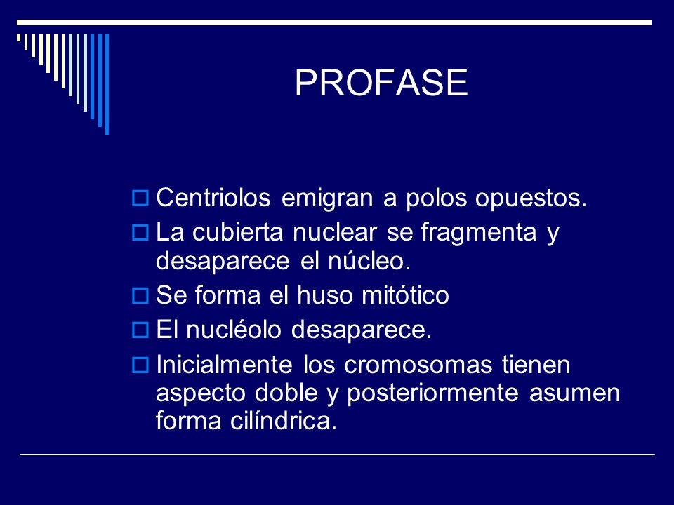 PROFASE Centriolos emigran a polos opuestos. La cubierta nuclear se fragmenta y desaparece el núcleo. Se forma el huso mitótico El nucléolo desaparece