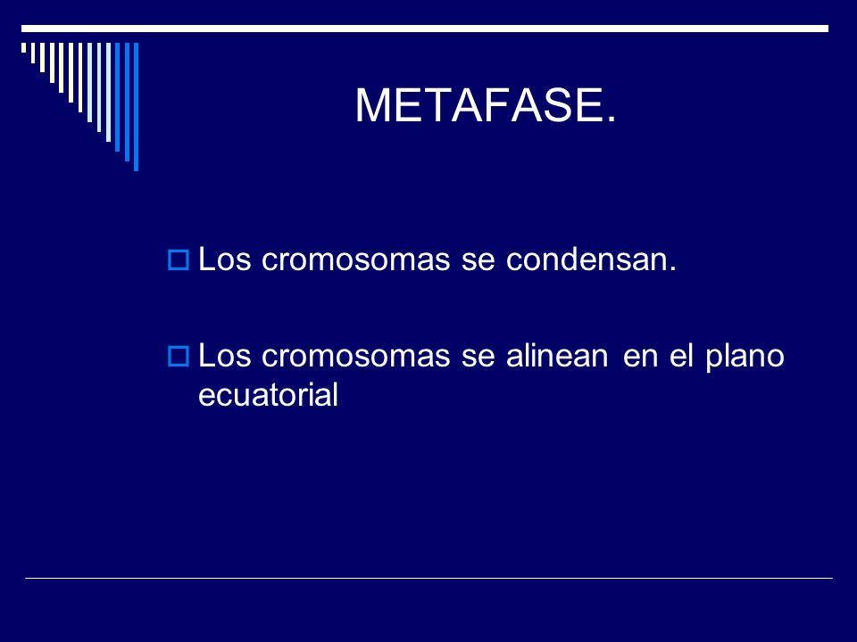 METAFASE. Los cromosomas se condensan. Los cromosomas se alinean en el plano ecuatorial
