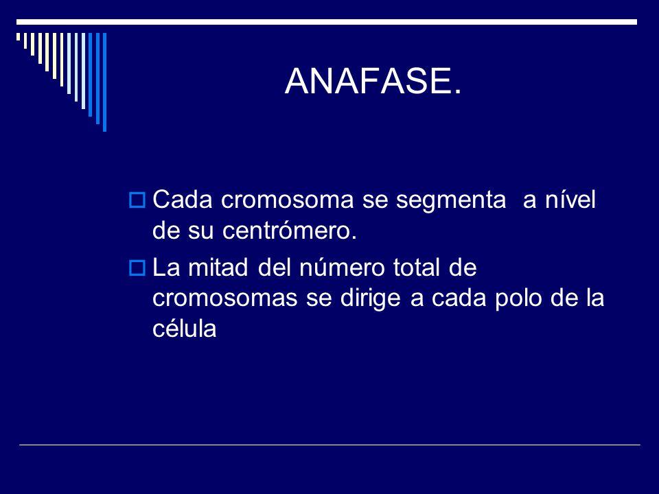ANAFASE. Cada cromosoma se segmenta a nível de su centrómero. La mitad del número total de cromosomas se dirige a cada polo de la célula