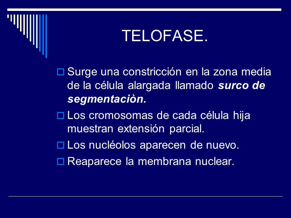 TELOFASE. Surge una constricción en la zona media de la célula alargada llamado surco de segmentaciòn. Los cromosomas de cada célula hija muestran ext