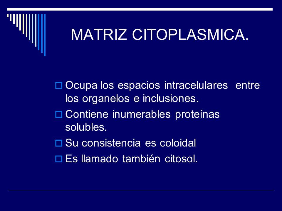MATRIZ CITOPLASMICA. Ocupa los espacios intracelulares entre los organelos e inclusiones. Contiene inumerables proteínas solubles. Su consistencia es