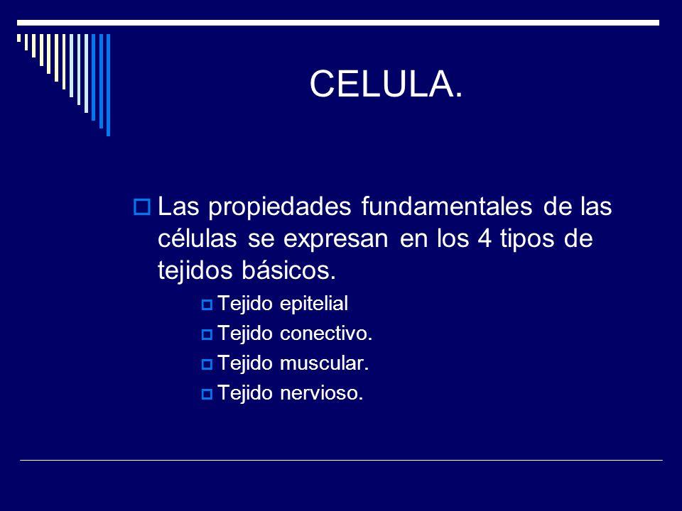 CELULA. Las propiedades fundamentales de las células se expresan en los 4 tipos de tejidos básicos. Tejido epitelial Tejido conectivo. Tejido muscular