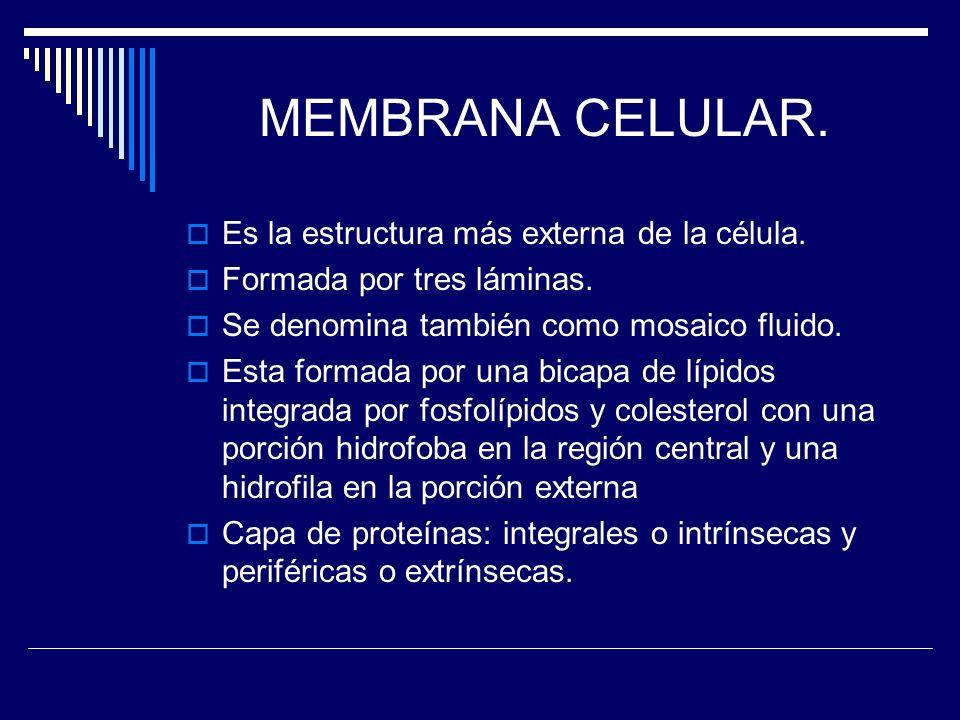 MEMBRANA CELULAR. Es la estructura más externa de la célula. Formada por tres láminas. Se denomina también como mosaico fluido. Esta formada por una b