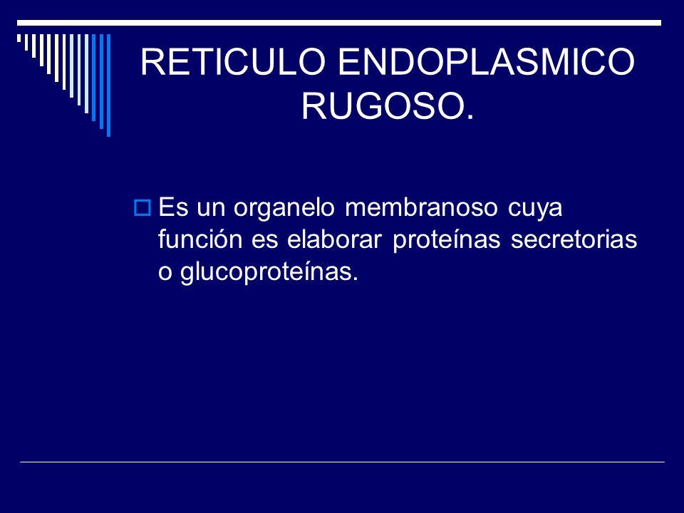 RETICULO ENDOPLASMICO RUGOSO. Es un organelo membranoso cuya función es elaborar proteínas secretorias o glucoproteínas.