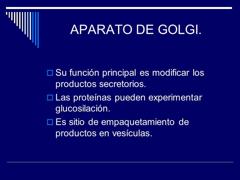 APARATO DE GOLGI. Su función principal es modificar los productos secretorios. Las proteínas pueden experimentar glucosilación. Es sitio de empaquetam