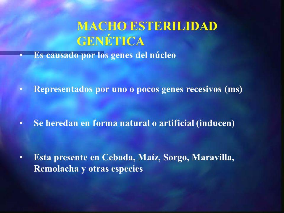 MACHO ESTERILIDAD GENÉTICA Es causado por los genes del núcleo Representados por uno o pocos genes recesivos (ms) Se heredan en forma natural o artifi