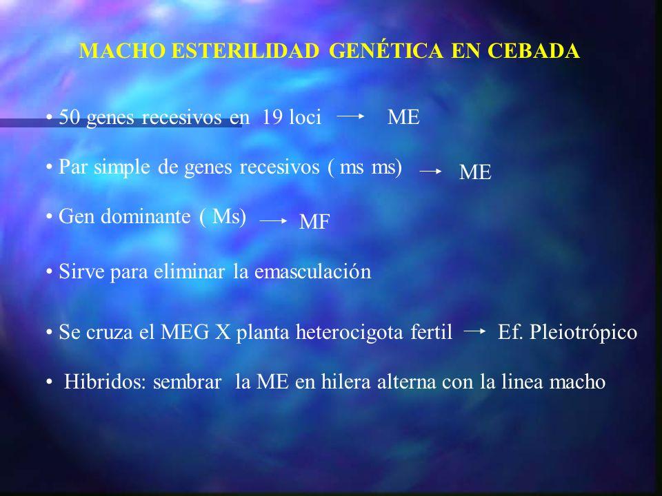 50 genes recesivos en 19 lociME Par simple de genes recesivos ( ms ms) ME MACHO ESTERILIDAD GENÉTICA EN CEBADA Gen dominante ( Ms) MF Sirve para elimi