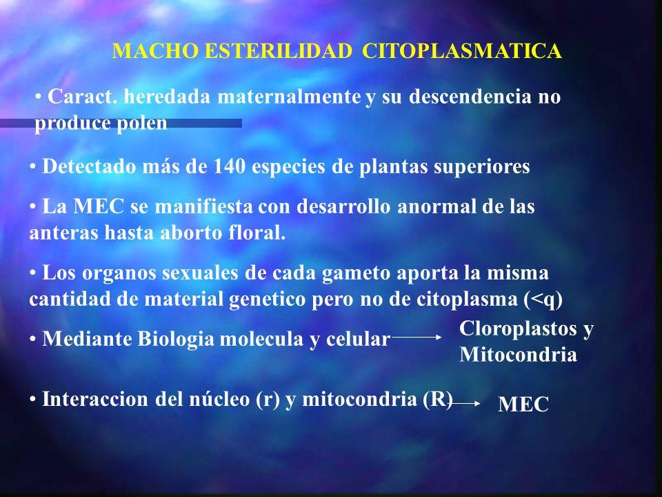 MACHO ESTERILIDAD CITOPLASMATICA Detectado más de 140 especies de plantas superiores La MEC se manifiesta con desarrollo anormal de las anteras hasta