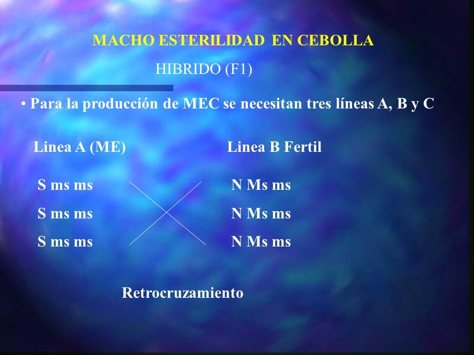 MACHO ESTERILIDAD EN CEBOLLA HIBRIDO (F1) Para la producción de MEC se necesitan tres líneas A, B y C Linea A (ME)Linea B Fertil S ms ms N Ms ms Retro
