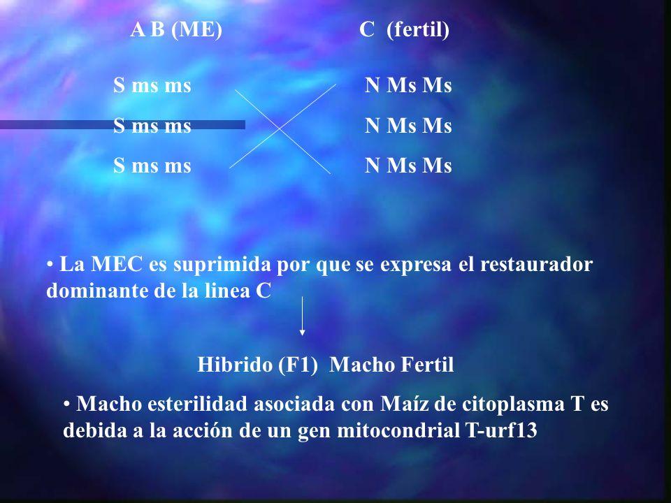 A B (ME) S ms ms N Ms Ms C (fertil) La MEC es suprimida por que se expresa el restaurador dominante de la linea C Hibrido (F1) Macho Fertil Macho este