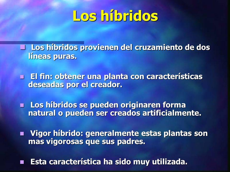 Los híbridos Los híbridos provienen del cruzamiento de dos líneas puras. Los híbridos provienen del cruzamiento de dos líneas puras. El fin: obtener u