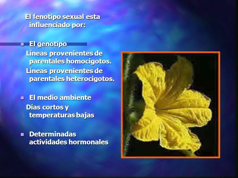 El fenotipo sexual esta influenciado por: El fenotipo sexual esta influenciado por: El genotipo El genotipo Líneas provenientes de parentales homocigo
