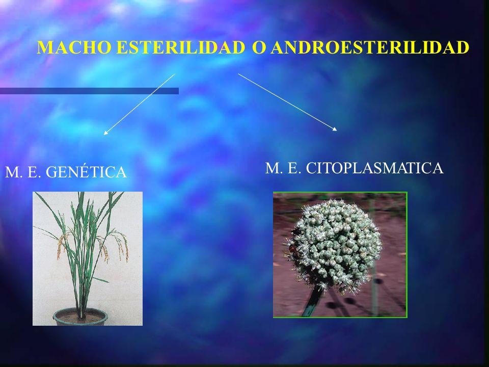 MACHO ESTERILIDAD O ANDROESTERILIDAD M. E. GENÉTICA M. E. CITOPLASMATICA
