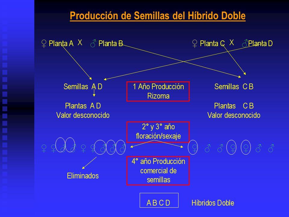 Producción de Semillas del Híbrido Doble