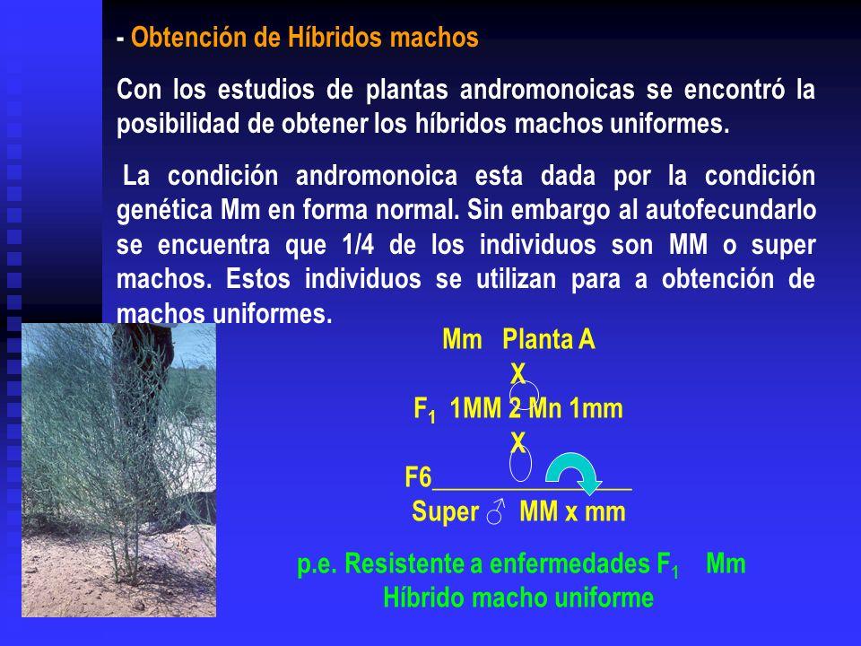 - Obtención de Híbridos machos Con los estudios de plantas andromonoicas se encontró la posibilidad de obtener los híbridos machos uniformes. La condi