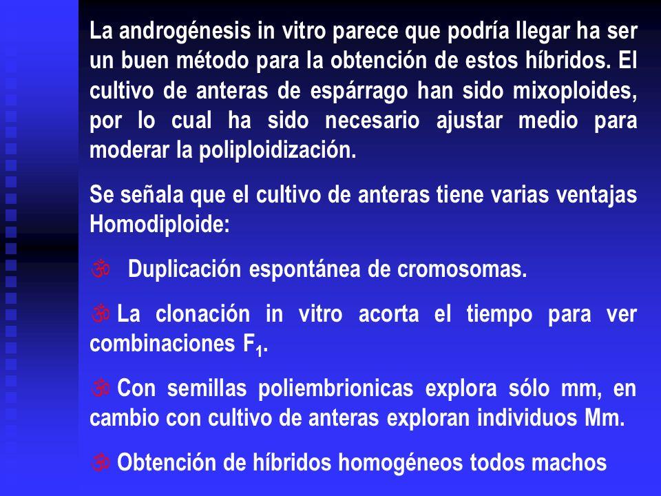 La androgénesis in vitro parece que podría llegar ha ser un buen método para la obtención de estos híbridos. El cultivo de anteras de espárrago han si