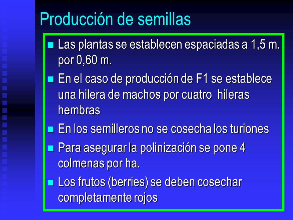 Producción de semillas n Las plantas se establecen espaciadas a 1,5 m. por 0,60 m. n En el caso de producción de F1 se establece una hilera de machos