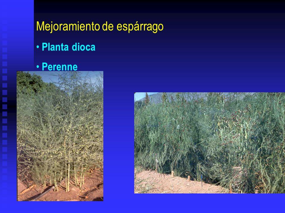 Mejoramiento de espárrago Planta dioca Perenne