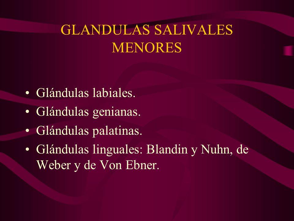 GLANDULAS SALIVALES MENORES Glándulas labiales. Glándulas genianas. Glándulas palatinas. Glándulas linguales: Blandin y Nuhn, de Weber y de Von Ebner.