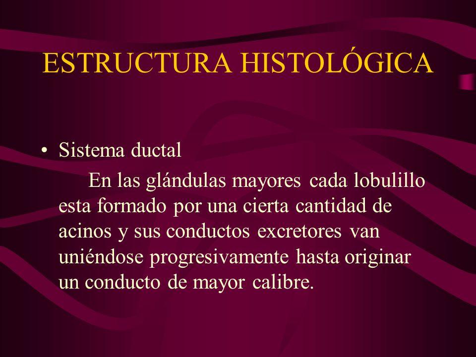 ESTRUCTURA HISTOLÓGICA Sistema ductal En las glándulas mayores cada lobulillo esta formado por una cierta cantidad de acinos y sus conductos excretore