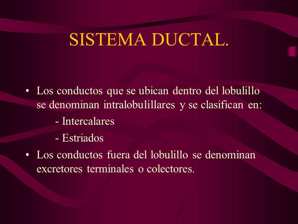 SISTEMA DUCTAL. Los conductos que se ubican dentro del lobulillo se denominan intralobulillares y se clasifican en: - Intercalares - Estriados Los con