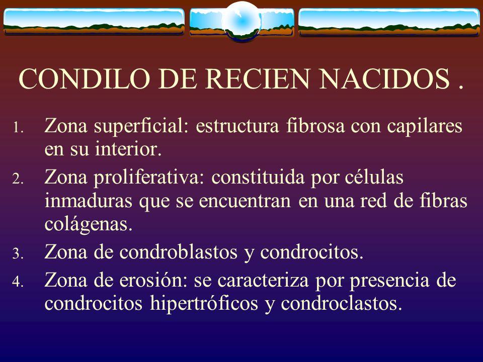 CONDILO DE RECIEN NACIDOS.1. Zona superficial: estructura fibrosa con capilares en su interior.