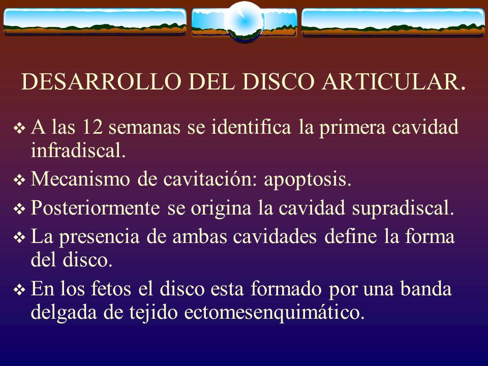 DESARROLLO DEL DISCO ARTICULAR.A las 12 semanas se identifica la primera cavidad infradiscal.