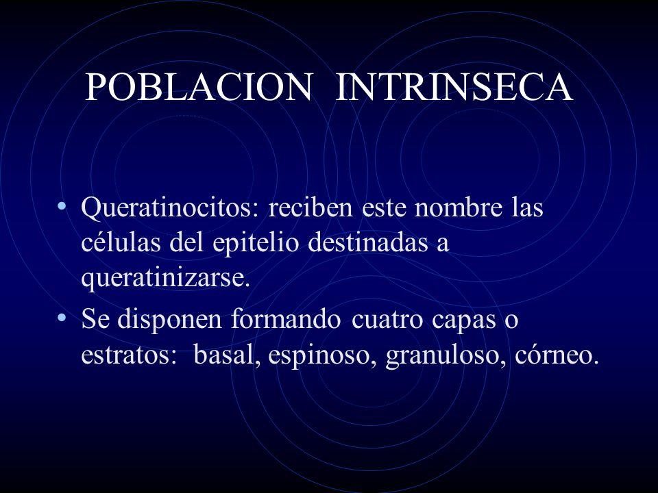 POBLACION INTRINSECA Queratinocitos: reciben este nombre las células del epitelio destinadas a queratinizarse. Se disponen formando cuatro capas o est